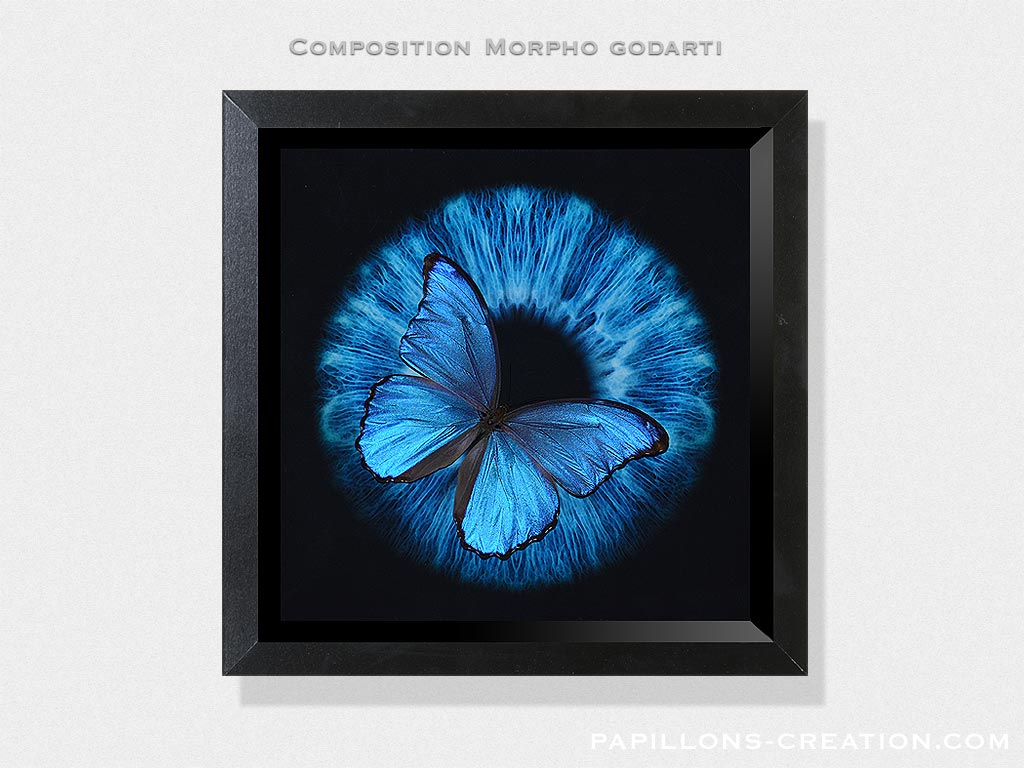 Composition Morpho godarti